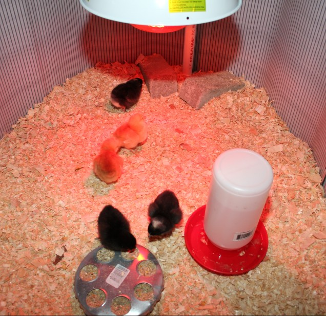 The Chick Brooder.  All they need is fresh food and water and a nice warm heat lamp.