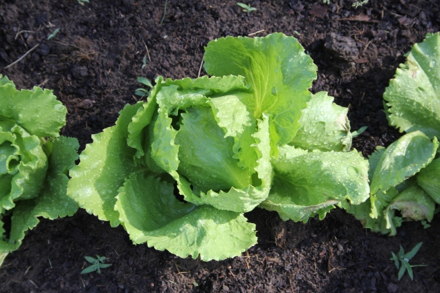 Crisp fresh lettuce.  There is nothing like it.